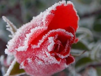 cukrová růže