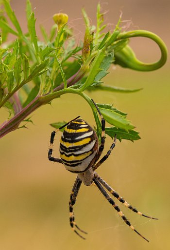 Křižák pruhovaný (Argiope bruennichi)