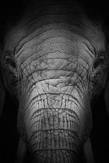 Sloní portrét