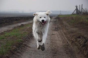 Létající pes