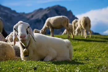 Ovce v Julských Alpách