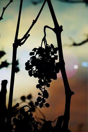 Vinná réva
