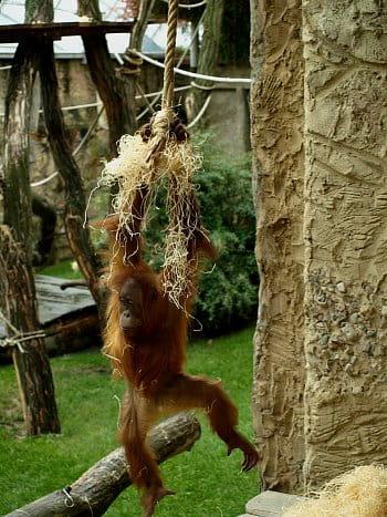 Malý orangutan Gempa