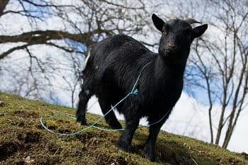 Koza v ZOO Zlín