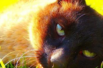 Oči šelmy