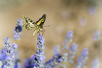 Motýl a levandule
