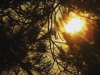 Borovice a západ slunce