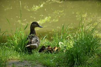 Kachni rodinka