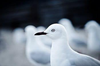 Ptačí král