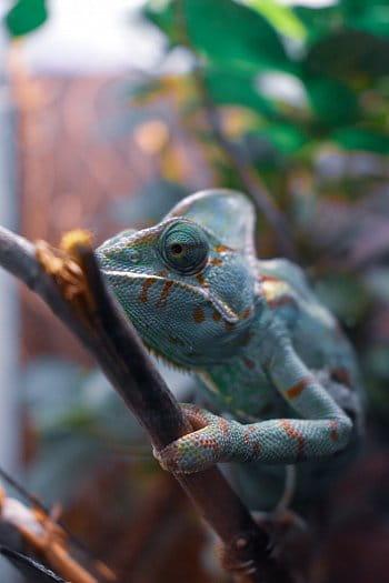 Mládě chameleona