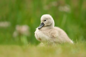 Labuťátko