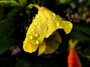 Květina po dešti