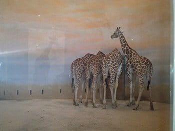 U žiraf