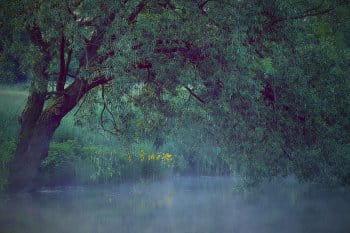 žluté kosatce