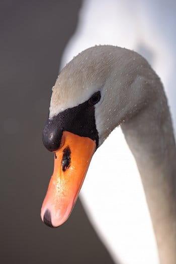 Labutí portrét