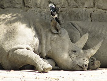 Nosorožec a pták