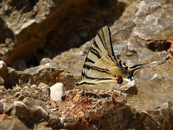 naparujici se motýl