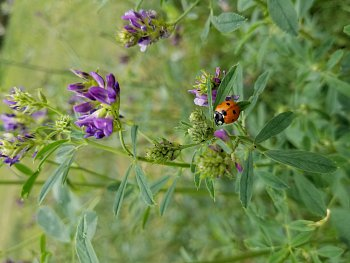 Ladybug in the Vetch