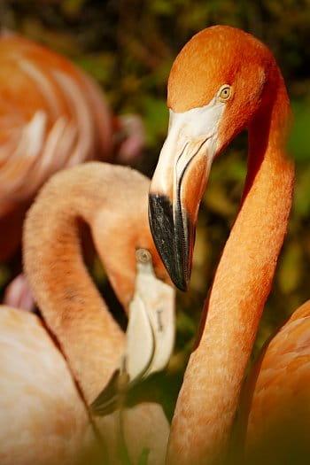 u pelikánů...