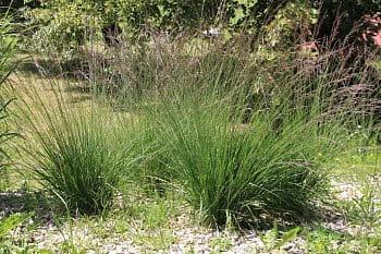 okrasná tráva 1