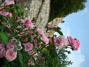 Stekník v květu