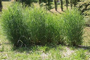 okrasná tráva 2
