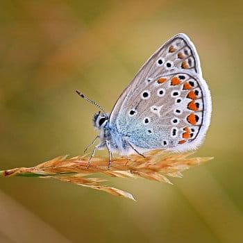 Modrásek v trávě