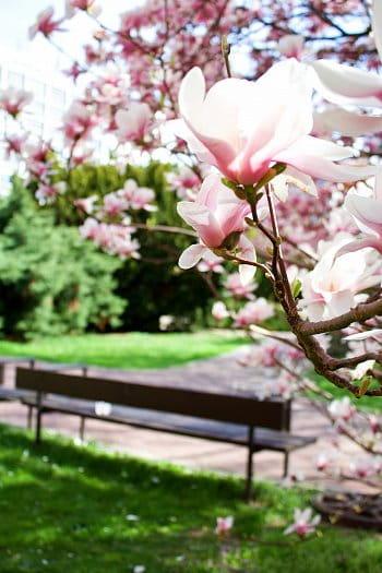 Vůně magnolie