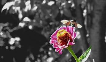 Motýlí kolibřík