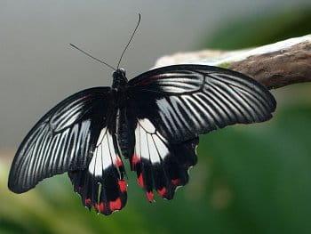 Krásný, ale tak trochu otrhaný motýl...