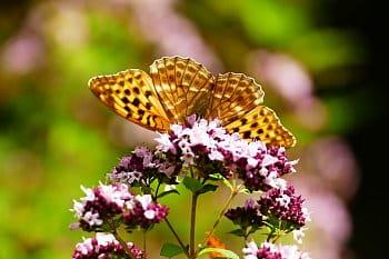 motýlí vějíř