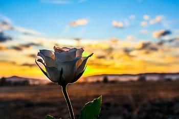 Růže v západu slunce