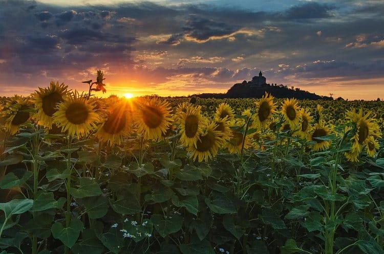 Slunečnice pod Kunětickou horou