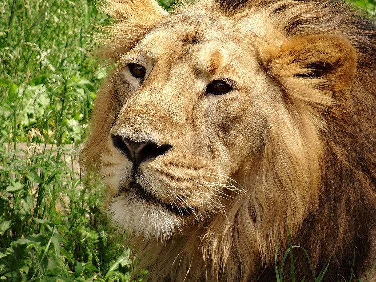 Lev indický 1