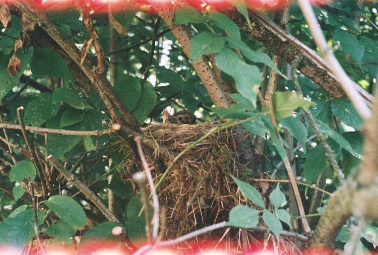 Ptáčata