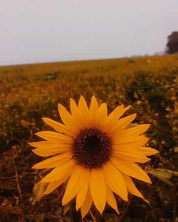 Jediná slunečnice na poli