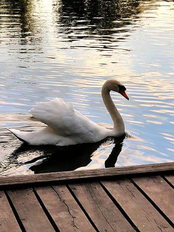 Bílá labuť