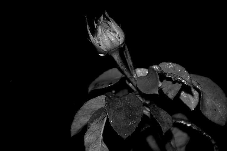 Den se v růži skryl