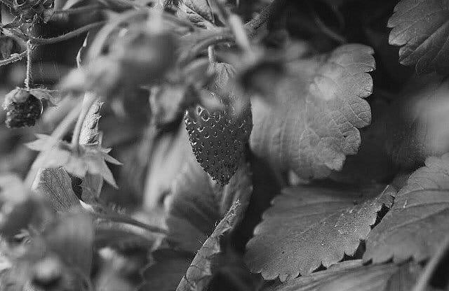 jahoda v létě