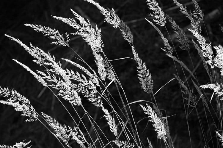 zlatá tráva