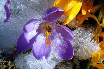 Nedočkavá včelka saje nektar