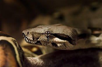 Hroznýš královsky (Boa constrictor)