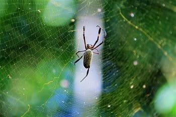 Argentinský pavouk