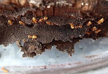 u žlutých mravenečků