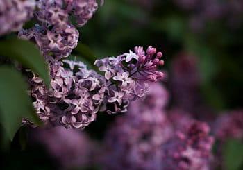 Flowers of Purple
