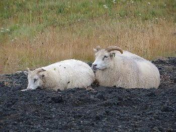 7 - spokojení huňáči odpočívající na vulkanitech, Island
