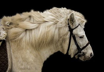 Black/white horse