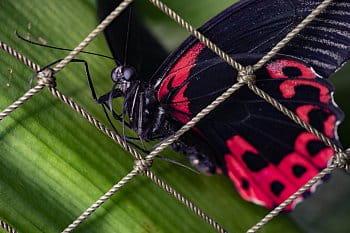 Motýlí cestovatel zblízka