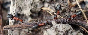 Lesní mravenci