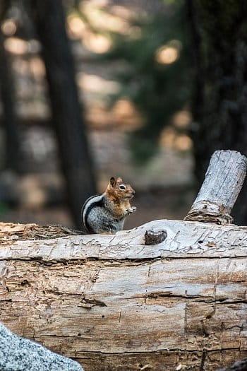 Chipmunk v NP Sequoia
